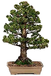 Bonsai tree displaying Upright or Chokkan form