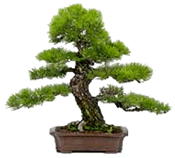 Bonsai tree displaying Informal Upright or Moyogi style