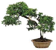 Bonsai tree displaying Slanting or Shakan style