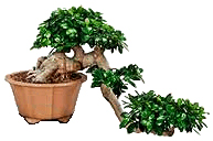 Bonsai tree displaying Informal Cascade or Kengai style