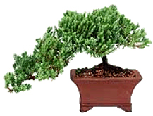 Bonsai tree displaying Semi-cascade or Han-Kengi style
