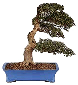 Bonsai tree displaying Windswept or Fukinagashi style